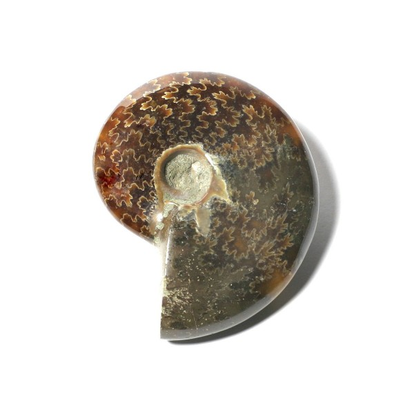 Ammonit, anpoliert - 3B Scientific