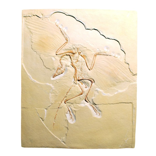 Archaeopteryx lithographica, Replikat - 3B Scientific