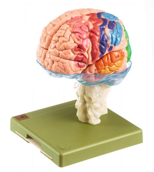 15-teiliges Gehirnmodell mit farbiger Markierung der Rindenfelder - Somso