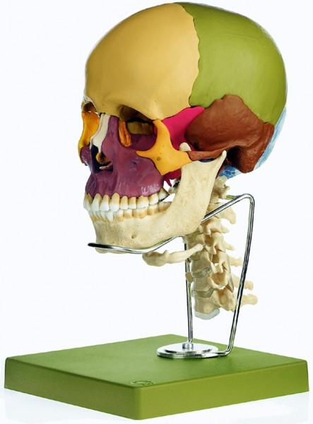14teiliges Schädelmodell mit Halswirbelsäule und Zungenbein - Somso