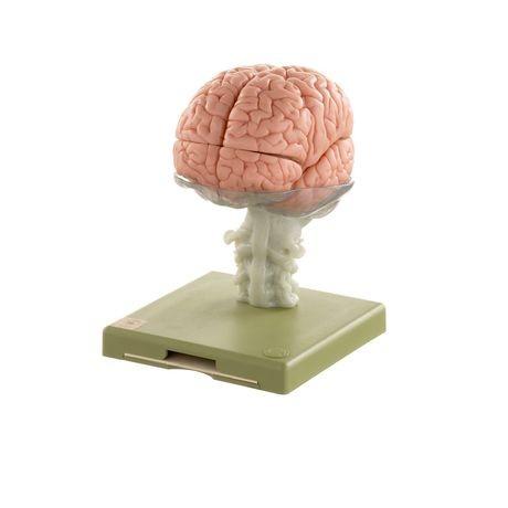 15-teiliges Gehirnmodell - Somso